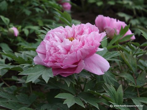 Tree Flower Of by Photos Of Nature Photos Of Peonies Flowers