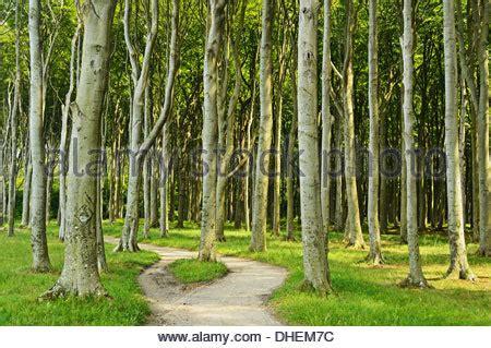 nienhagen wood alemanha floresta fantasma nienhagen mecklenburg vorpommern