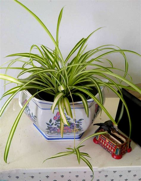 spider plant low light low light indoor plants my 20 favorite house plants
