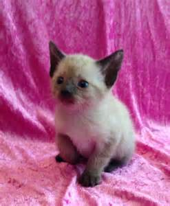 One bengal siamese mix kittens ready in 3 weeks