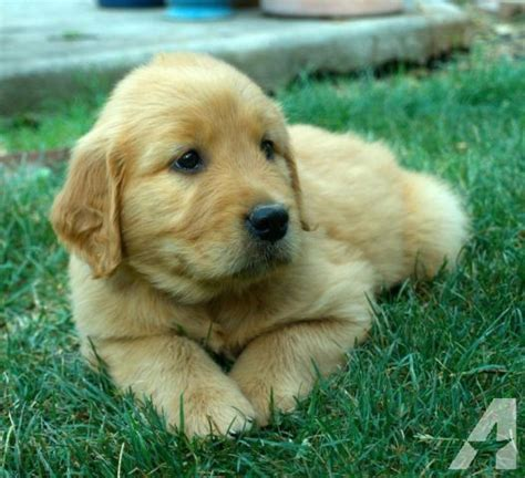 tucson golden retriever akc golden retriever puppies for sale in tucson arizona classified americanlisted