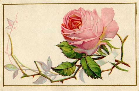 old roses vintage image old pink rose with thorns the graphics fairy