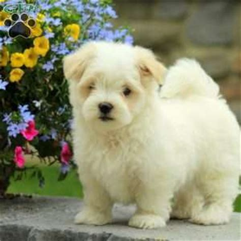 references photos thomas kennel maltese poodles maltese puppies for sale in pa