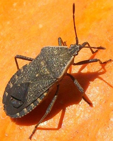 squashed bed bug gardening naturally with claudia insects and disease in