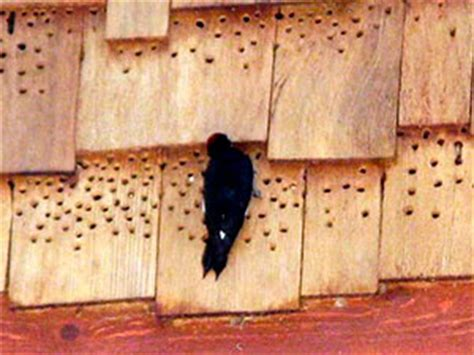 woodpecker damage to house siding how to get rid of woodpeckers easy steps to effective woodpecker control