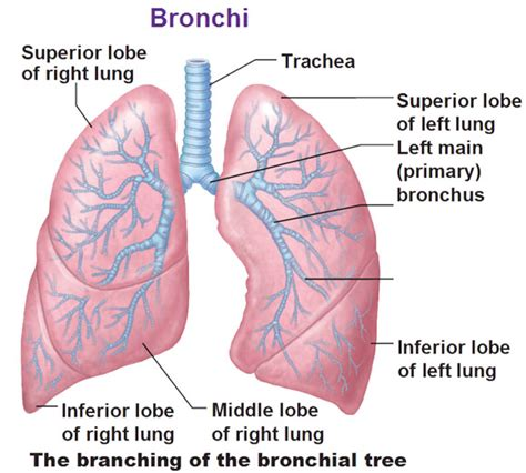 diagram of bronchioles bronchial tree branching into bronchioles with superior
