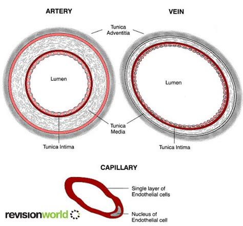 cross section of an artery blood vessels a2 level level revision biology