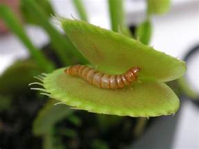 file meal worm in venus fly trap jpg wikimedia commons