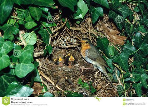 pettirosso alimentazione pettirosso europeo al nido con i pulcini fotografia stock