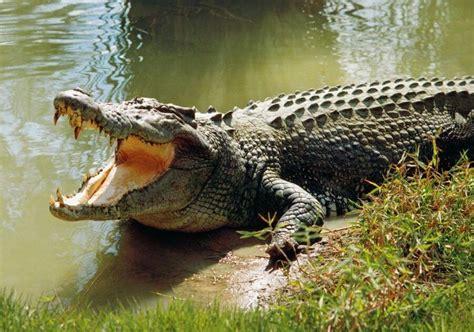 The Crocodile 2 crocodile meaning about crocodile
