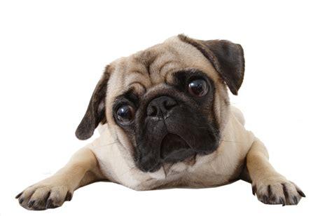 pug png perro pug png by melanie arce rodriguez whi