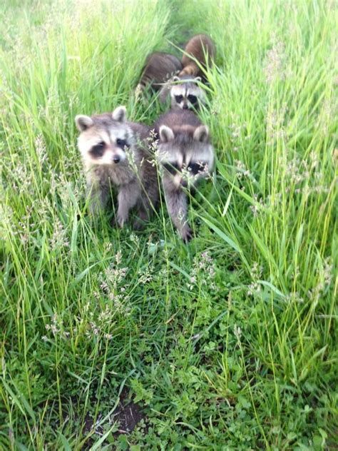 what to do if a raccoon is in your backyard 17 best pro wildlife niagara images on pinterest wildlife raccoons and removal services