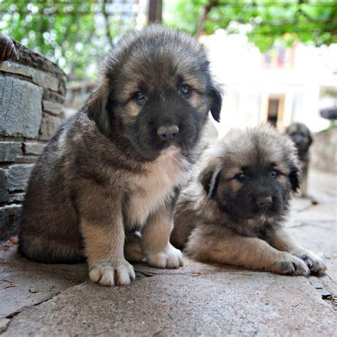 sarplaninac puppy sarplaninac info temperament puppies pictures