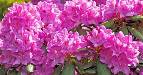 wann schneidet rhododendron rhododendron d 252 ngen mein sch 246 ner garten