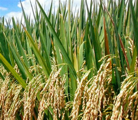 klasifikasi tanaman padi sawah  morfologinya terlengkap