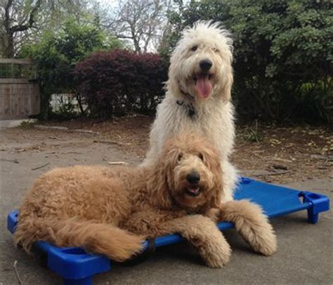 Haircuts For Dogs In Andrews Texas | 25 best standard goldendoodle ideas on pinterest
