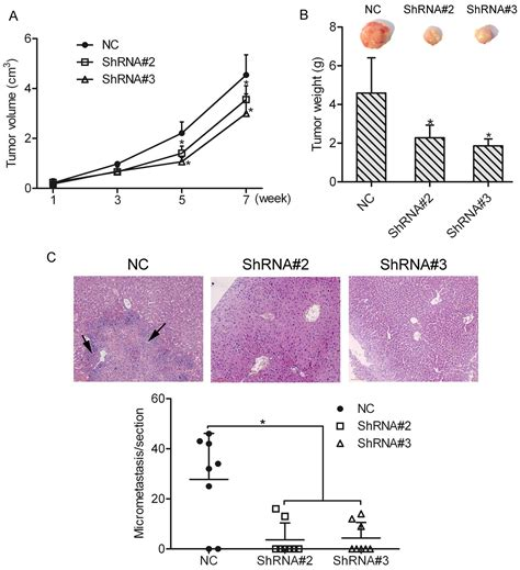 bcas2 promotes prostate cancer cells proliferation by hoxa1 enhances the cell proliferation invasion and