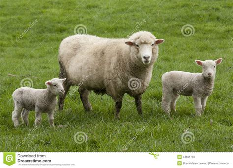 the l by lambs sheep and lambs stock image image of farm zealand