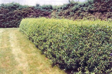Backyard Shrubs Cheyenne Common Privet Ligustrum Vulgare Cheyenne In