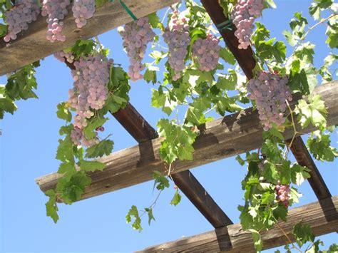 Grape Vines On The Pergola Overhead Landscaping Plants For Pergolas