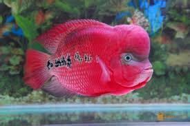 Pakan Larva Ikan Louhan ikan louhan monkey cara budidaya ternak