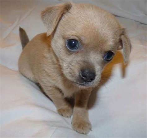 buy chihuahua puppies dogs for sale chihuahua puppies for sale in australia stuff to buy