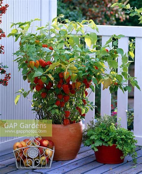 Physalis En Pot by Gap Gardens Physalis Franchetii And Heuchera In
