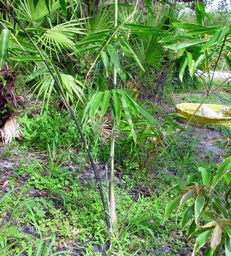 Hitam Mamboo bambooweb dendrocalamus asper betung hitam photos and
