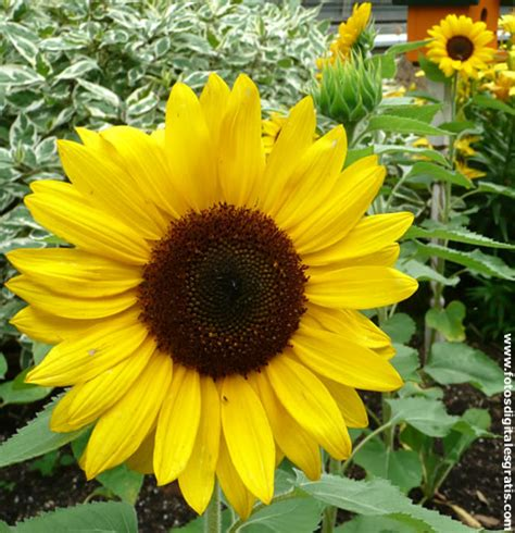 imagenes de flores de girasol buscar girasoles fotos digitales gratis banco de im 225 genes