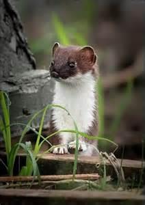 Weasel Cute Baby Animals