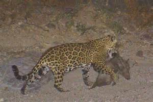 What Is A Jaguars Predator Seeking Justice For Coraz 243 N Jaguar Killings Test The