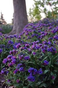diana clare pulmonaria plants perennials shade