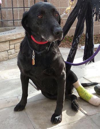 lab puppies denver colorado labrador retriever rescue denver co photo