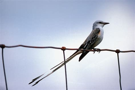 scissor tailed flycatcher tyrannus forficatus