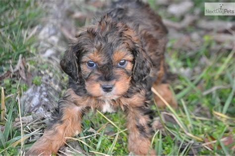cavapoo puppies for sale missouri cavapoo puppy for sale near southeast missouri missouri b5b9163b d931