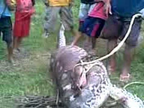 video film ular makan manusia ular makan manusia youtube