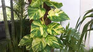 climbing house plants pothos dougherty s garden is it green