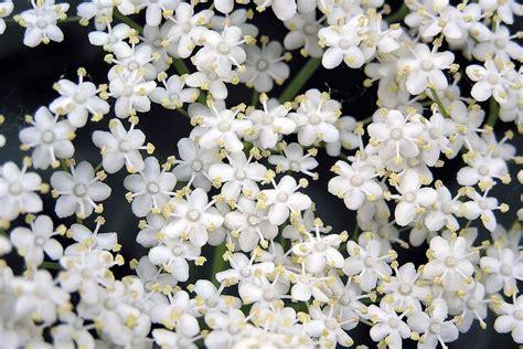 fiori di sambuco ricette tassoni fiori di sambuco e vecchie ricette de gustare