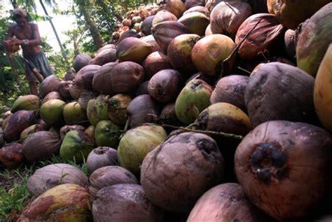 Minyak Kelapa Kopra turki beli tepung kelapa asal sulut republika