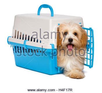 crate havanese puppies happy orange havanese puppy is sitting in the grass stock photo royalty