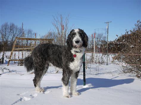 aussiedoodle puppy aussiedoodle breed 187 australian shepherd poodle mix