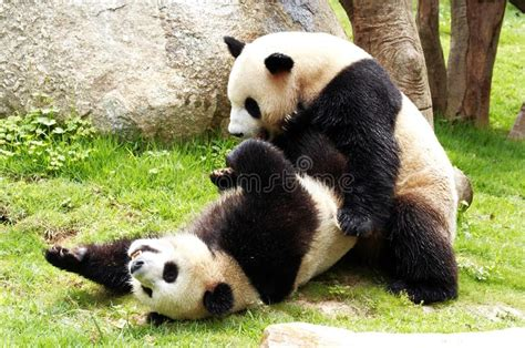 alimentazione panda panda immagine stock immagine di alimentazione panda