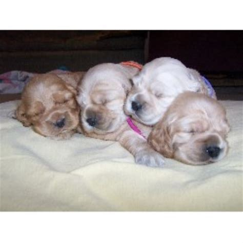 cocker spaniel puppies nc american cocker spaniel breeders in carolina freedoglistings