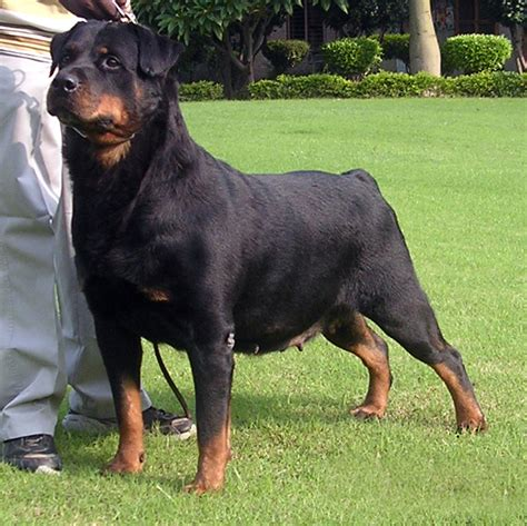 expectancy of rottweiler in memory of lovely agrani rottweilers pardeep kennels gurdaspur