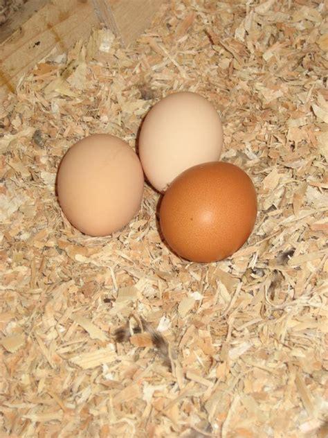 barred rock egg color barred rock chickens eggs