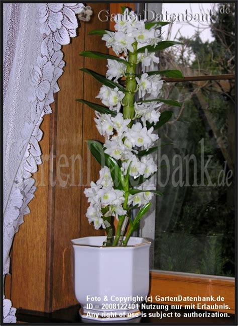 Zimmerorchideen Pflege by Dendrobium Apollon Eine Wei 223 E Bl 252 Tens 228 Ule