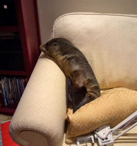 seal on couch baby seal sneaks into new zealand home naps on couch