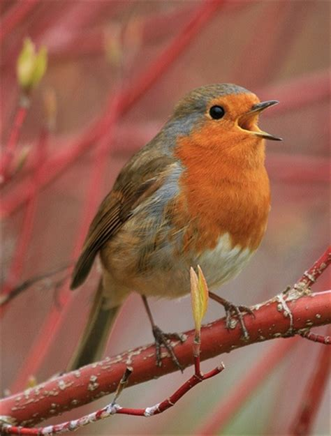 best 25 robin bird ideas on pinterest pretty birds