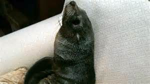 seal on couch baby fur seal at home on couch abc news australian