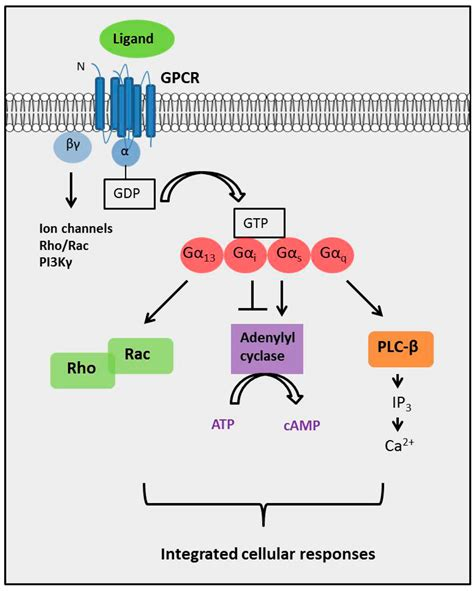 g protein coupled receptors function ijms free text g protein coupled receptor